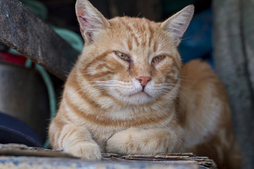 Büyük Kedi