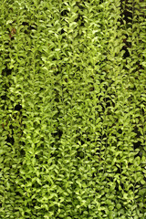 plant wall, green background.
