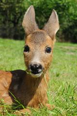 Young european roe deer (Capreolus capreolus)