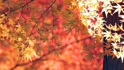 red japanese maple autumn fall