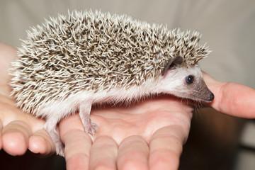Atelerix albiventris, African pygmy hedgehog.