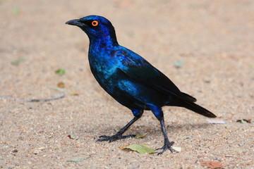 uccello storno dorato parco nazionale kruger sudafrica