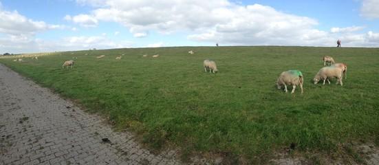 Schafherde auf Elbdeich