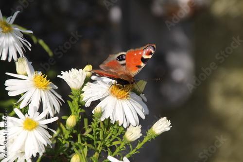 canvas print picture Schmetterling im Natur III