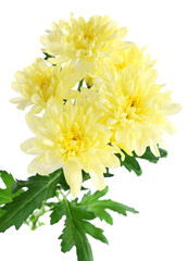 beautiful chrysanthemum flowers, isolated on white