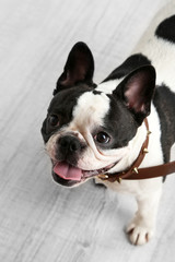 Cute French bulldog in room