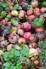 Rotting Apples in garden