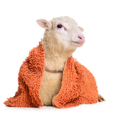 Sheep with  blanket