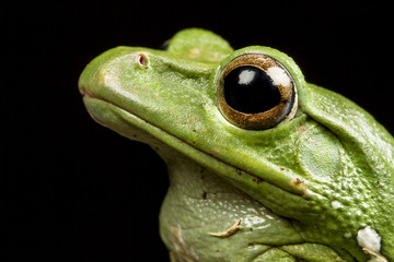 Vietnamese Blue (Gliding or Flying) Tree Frog (Polypedates denny