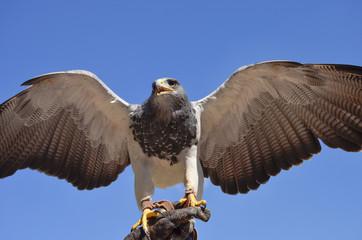 Falke auf Beute