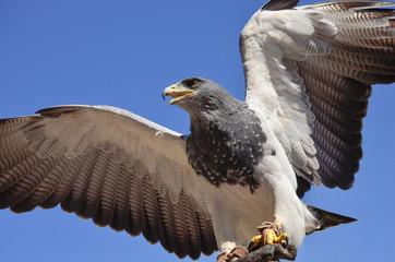 Falke Ausblick auf Beute