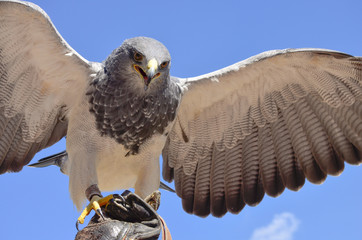 Falke auf Beutejagt
