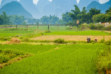 Guiling landscape with rice fields