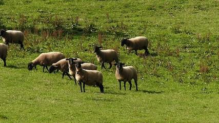 羊の放牧_8