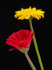 Yellow and red gerbera daisy flowers