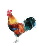 Watercolor Image Of Rooster