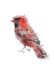 Watercolor Image Of Red Cardinal