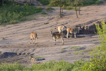 Common Eland at a Watering Hole