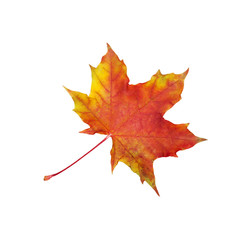 red dry maple leaf