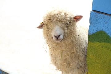 草がついて汚れた羊