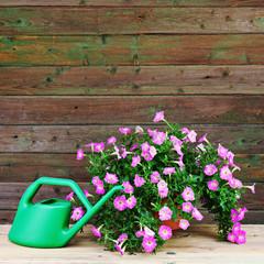Pink petunia flowers in flowerpot with garden accessories.