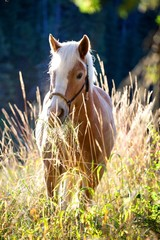 Mare Haflinger in the Morning