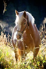 Haflinger in the Morning © Michael Ireland