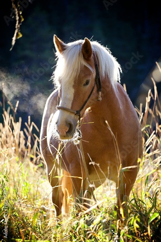 Haflinger in the Morning
