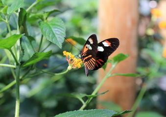 papillon sur lantanier
