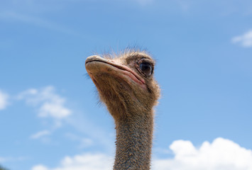 Ostrich head and blue sky