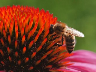 Bee on the echinacea flower