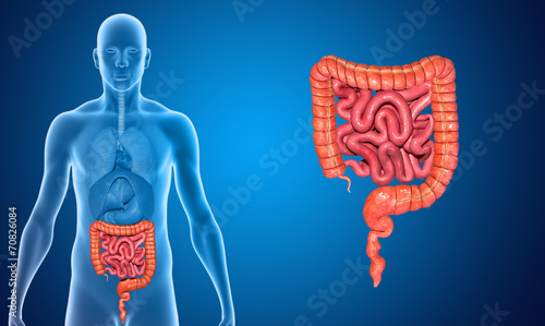 Small and large intestine - 70826084