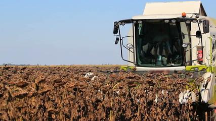 Combine harvester in a sunflower field