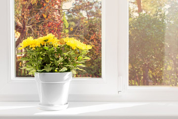 flowerpot with yellow chrysanthemum on window sill