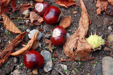chestnuts on the autumn street