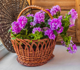Double petunia in a basket
