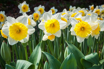 daffodils in blooming