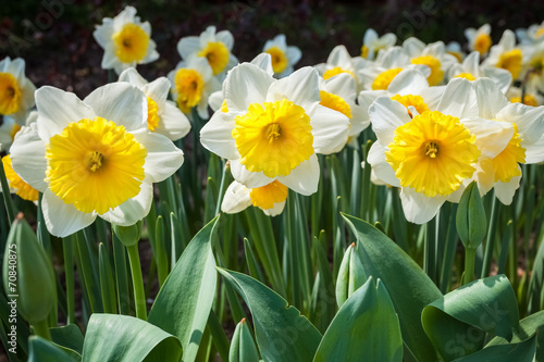 Papiers peints Narcisse daffodils in blooming