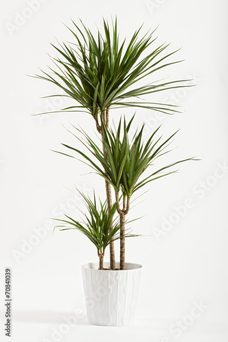 Yucca plant potted in a container - 70841039