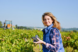 Fototapety cheerful young woman harvesting grapes in vineyard