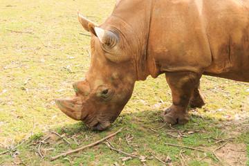 Close-up of the large white rhinoceros (Ceratotherium simum)