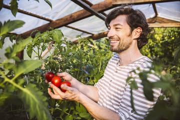 Mann bewundert reife Tomaten im Gewächshaus