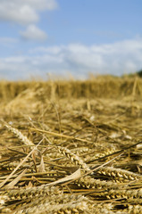 A field of cut straw and seedheads after the harvest of a ripe crop.
