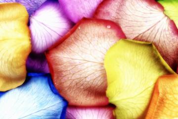 Farbige Blüten von Rosen