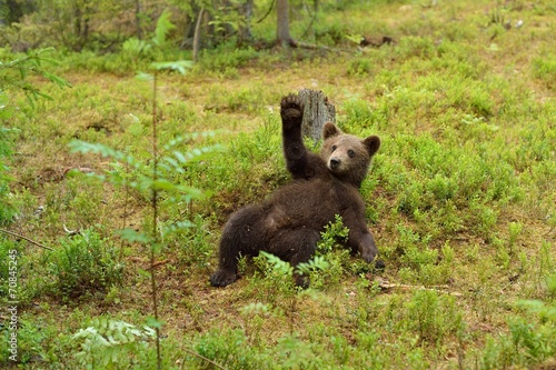 canvas print picture Brown bear cub waving