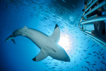 Mexiko, Guadalupe, Pazifik, Taucher in Hai-Käfig fotografieren weißen Hai, Carcharodon carcharias