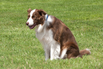 Collie with blue collar