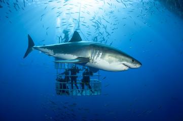 Mexiko, Guadalupe, Pazifik, Taucher in Hai-Käfig mit weißem Hai, Carcharodon carcharias