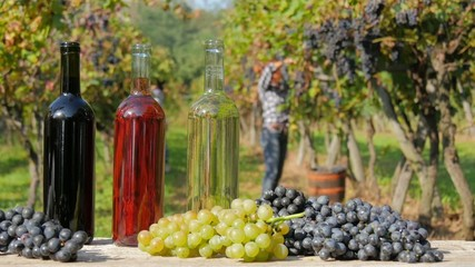 Red white and rosé wine. Women harvesting grapes on background.