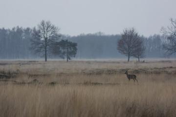 Deutschland, Nordrhein-Westfalen, Lübbecke, Landschaft mit kahlen Bäumen und Reh, Gams, bei Hiller Moor